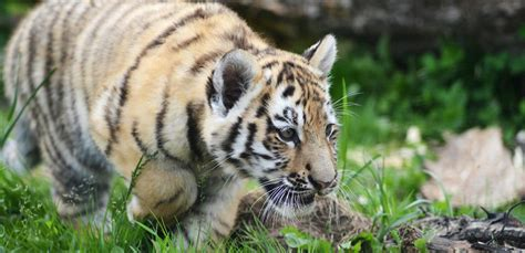 discount vouchers yorkshire wildlife park 2015 rare amur tiger cubs take their first steps at yorkshire