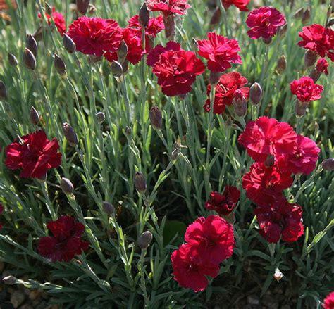 Flower Plants carnation flower red white amp pink carnation flowers