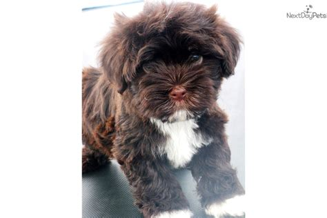 havanese puppies buffalo ny havanese puppy for sale near buffalo new york f7e026f2 5c41