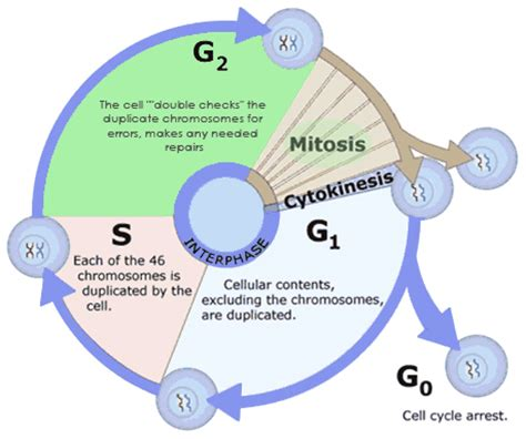 interphase g1 diagram image gallery interphase as biology