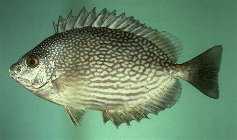 Pembesaran 6 Ikan Konsumsi Di Pekarangan Lele Belut Gurami Patin Dll fishing and fish species jenis jenis ikan konsumsi