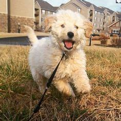 Goldendoodle Puppies Goldendoodle Puppies 163 850 Posted 7