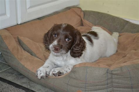 springer spaniel puppies for sale springer spaniel puppies for sale pewsey wiltshire pets4homes