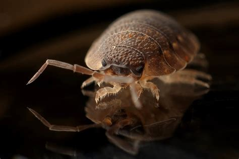 natural ways to get rid of bed bugs natural ways to get rid of bed bugs blog arm