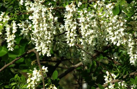 pictures of trees with white flowers garden inspiration