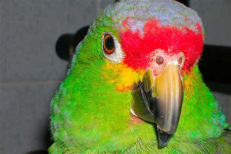 uccelli da gabbia e da voliera la muta degli uccelli da gabbia e da voliera zotta
