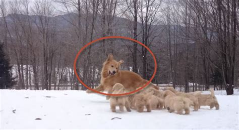 golden retriever puppies snow when these puppies came out to play in the snow nobody expected them to become so