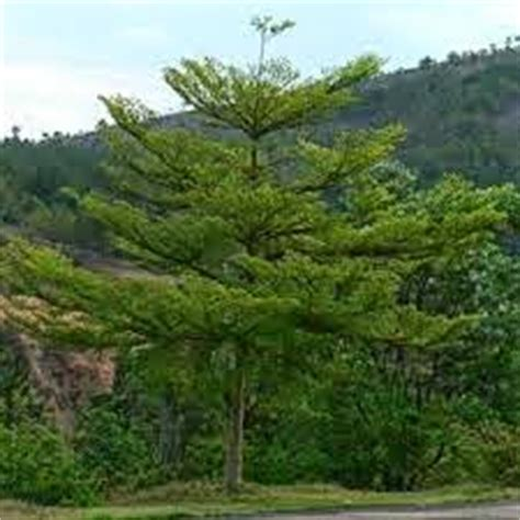 Jual Pohon Daun Afrika Selatan Bibit Daun Afrika jual pohon ketapang ketepeng arya flower