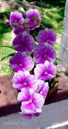 orchids cattleya images orchids cattleya