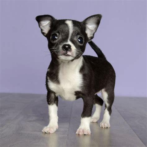 just puppies orlando florida born 12 13 13 call 407 422 7877
