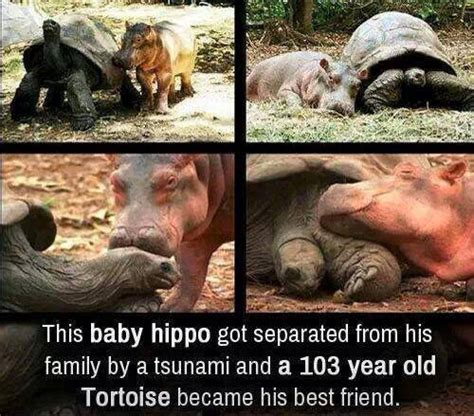 Baby Hippo Meme - baby hippo old tortoise become best friends the