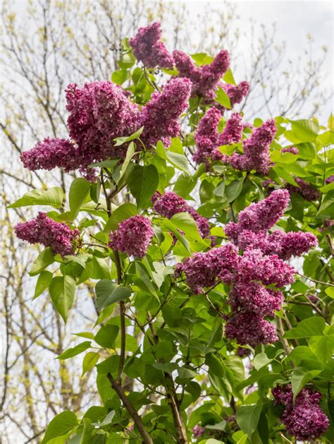 botanical gardens new jersey lilacs at the new jersey botanical gardens nj landscape tips