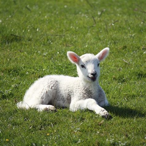what causes newborn puppies to die how to scours in baby lambs animals me