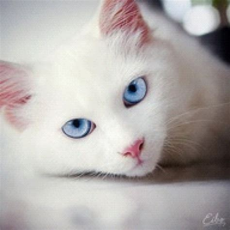 Bibit Eye Cat White 57 best images about animals white cats on i cats and white kittens