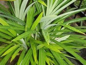 the miracle from herbal life pandan leaf properties
