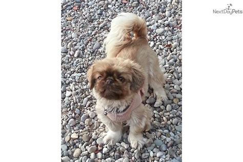 puppies for sale in new mexico pekingese puppies for sale new mexico breeds picture