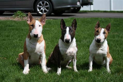 alimentazione bull terrier bull terrier cani taglia media caratteristiche