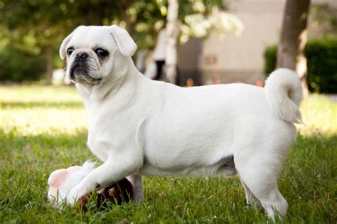 hypoallergenic pug pug breed guide learn about the pug
