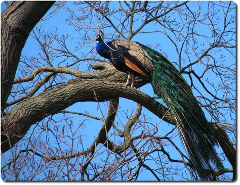 peacock tree file indian peafowl peacock in a tree jpg wikimedia