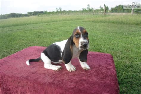 basset hound puppies for sale in missouri basset hound puppy for sale near kansas city missouri 4d9364dd 3f41