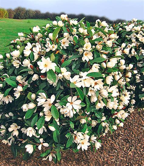 baldur garten de duft magnolien hecke magnolie bei baldur garten
