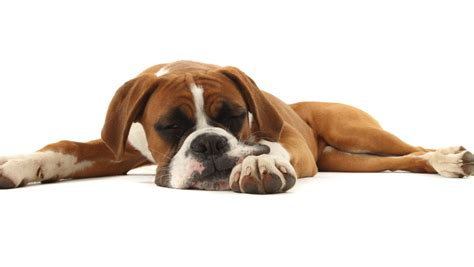 puppy is lethargic is your lethargic lethargic causes symptoms and treatment