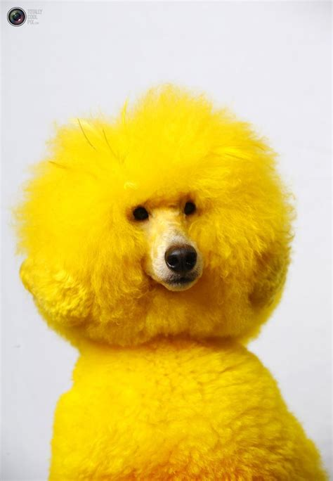 are poodles dogs 15 poodles with better hairstyles than you