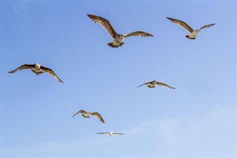 immagini gabbiano immagini ala uccello marino volare gabbiano
