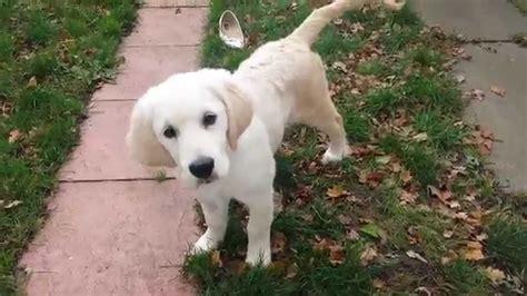 15 week golden retriever 15 week golden retriever puppy