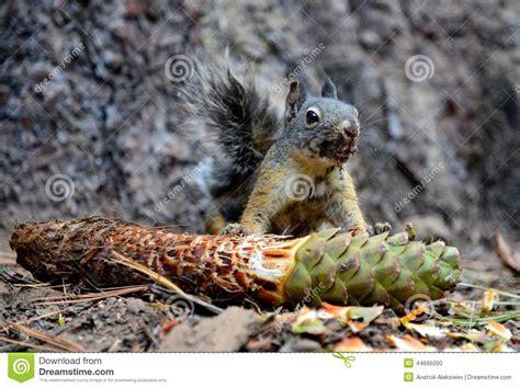 scoiattolo alimentazione pinecone grigio di cibo dello scoiattolo fotografia stock