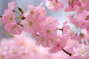 blossom cherry picture cherry blossom desktop wallpapers cherry blossom pictures