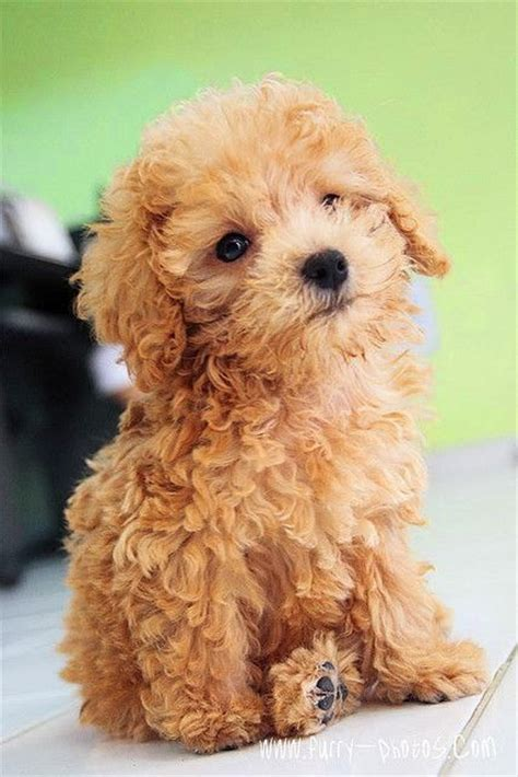 miniature poodle lifespan 1000 ideas about poodle mix on australian