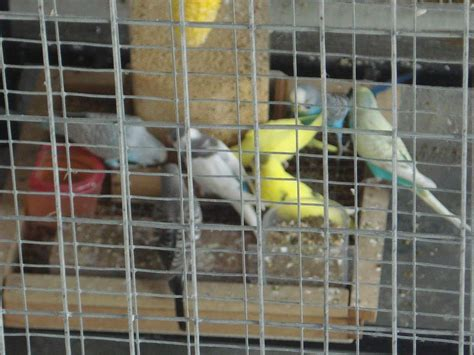 Tempat Pakan Burung Koloni membuat bird feeder untuk kandang koloni om kicau