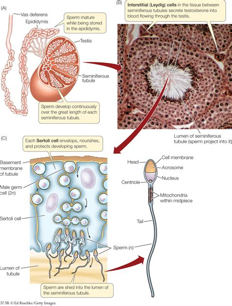 transverse section of mammalian testis hillis2e ch37