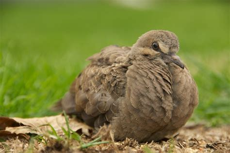 baby mourning dove by shiverz718 on deviantart