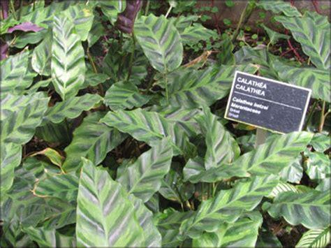 Tanaman Hias Daun Calathea Zebrina plant id flowers and foliage calathea florida master