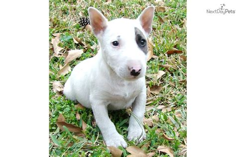 miniature bull terrier puppies for sale miniature bull terrier puppies breeds picture
