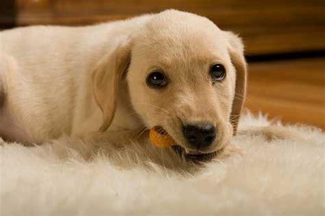 golden retriever puppy food quantity indian food for labradors and golden retriever breeds pets world
