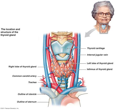 thyroid gland diagram the endocrine system