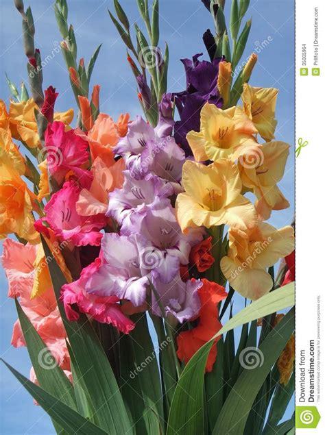 imagenes flores gladiolos manojo de flores de los gladiolos imagenes de archivo