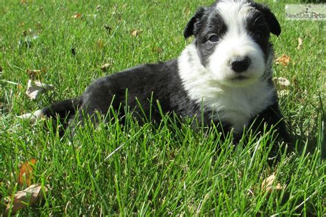 border collie puppies near me border collie puppy for sale near des moines iowa bf9a05e0 2e51