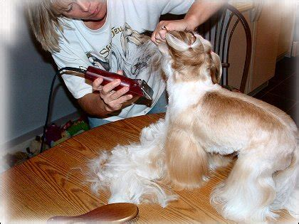 how to groom your shih tzu shih tzu grooming give your shih tzu puppy a bath by doggie bow ties breeds picture
