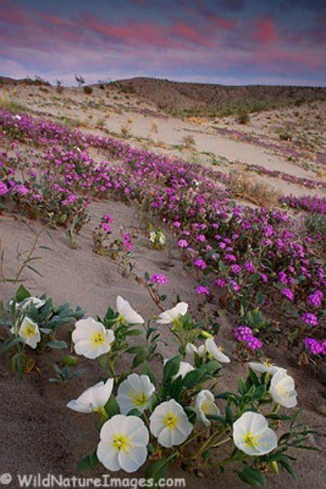 flowers anza borrego outsidelosangeles april showers bring desert flowers