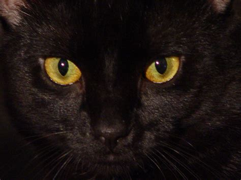 wallpaper yellow cat animals zoo park black cat eyes wallpapers blue cat eyes