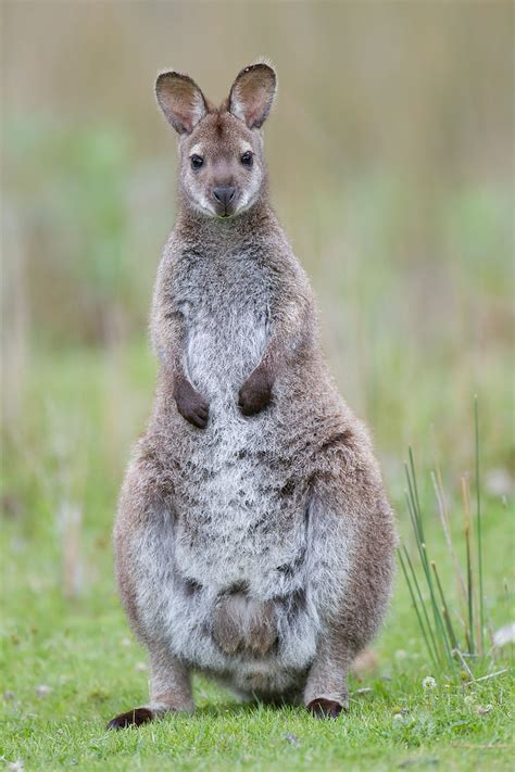 photo of a dama wallaby tammar wallaby some interesting facts