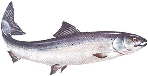 Lachs Bilder by Atlantic Salmon