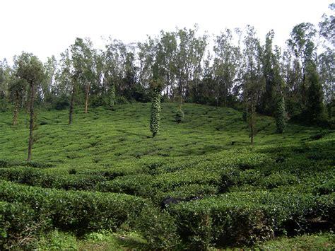 coffee plantation wallpaper file coffee plantation south canara jpg wikimedia commons