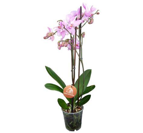 Garten Pflanzen Düngen by Phalaenopsis Schmetterlingsorchidee Lexikon F 252 R