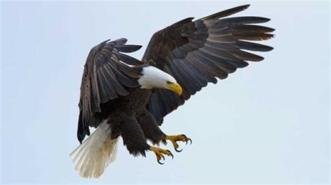 Bald Eagles Make A Comeback Iflscience Bald Eagle Back