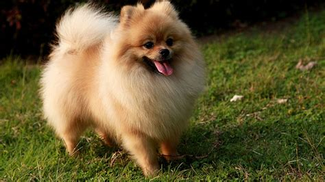 how to house a pomeranian pomeranian breeders siggy s paradise